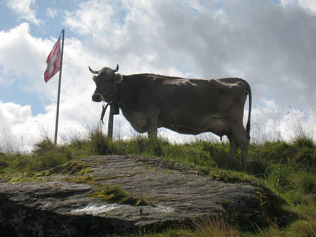 Kuh im Gegenlicht