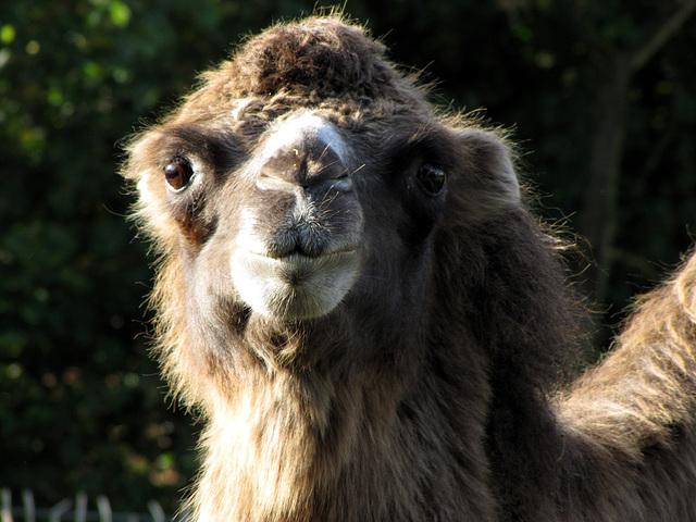 IMG 0332 Kamel