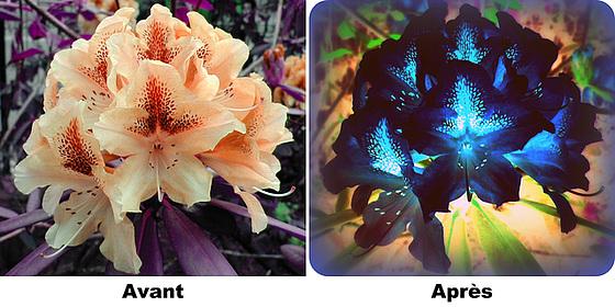 Fleur de Rhododendron
