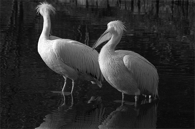 Pélicans du zoo de Lille