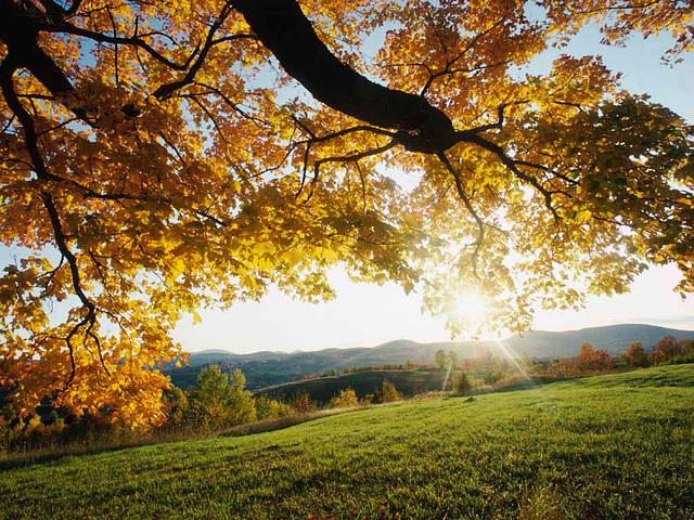 Ahornblade i efteråret. - Peter Miller