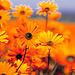 Orange blomster