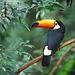 En tukan på en gren i Brasilien. - Kevin Schafer