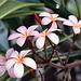 Et nærbillede af frangipaniblomster. - Kevin Forest