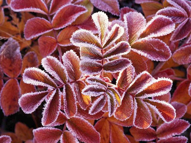Blade af hunderose dækket med frost i Sverige. - Peter Lilja