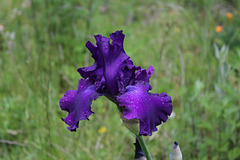 Iris Master Touch