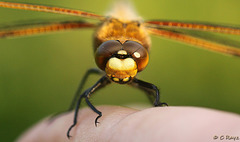 Four-spotted Chaser Face On