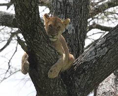Position inconfortable pour un lionceau