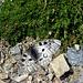 Schmetterling - Apollofalter