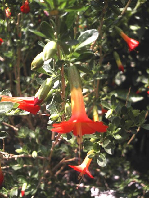 La cantuta, fleur sacrée des Incas