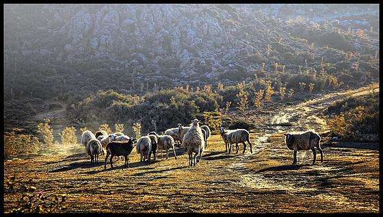 sheep fun in the evening
