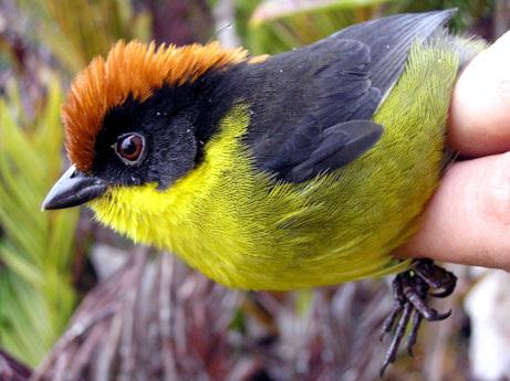 Le Tohi des Yariguies : description d'un nouvel oiseau