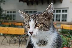 Katze mit Milch im Bart
