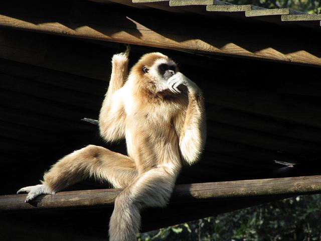 IMG 0327 Weißer Gibbon