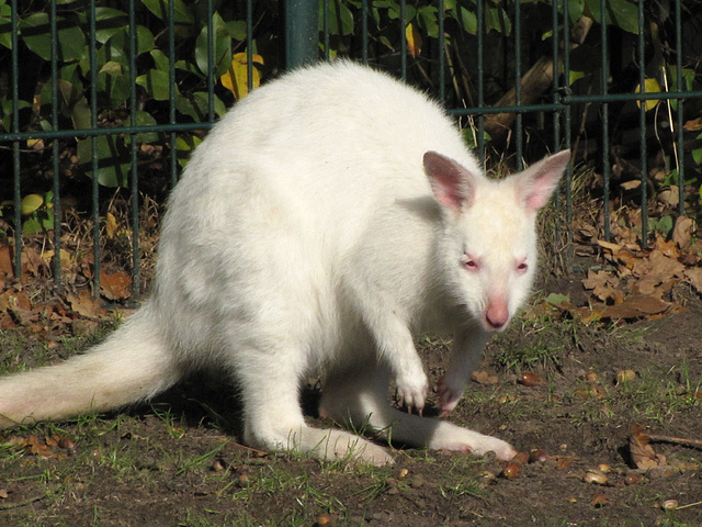 IMG 0224 Weißes Känguru