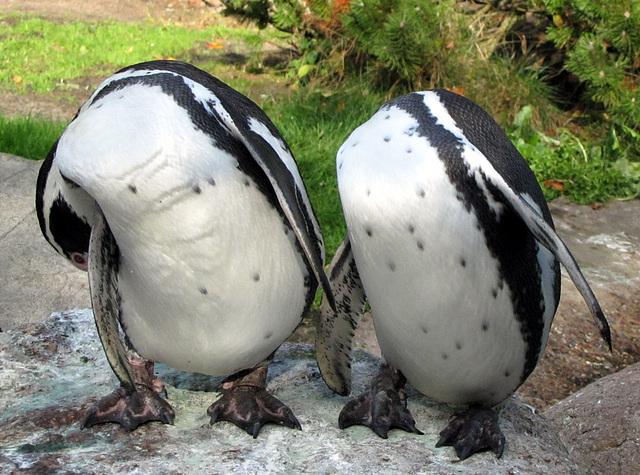 IMG 0172 Humboldt-Pinguine