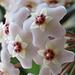 Inflorescence de Hoya carnosa