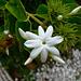 Fleur de Jasmin arabe