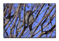 Female Figbird.