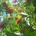 Vogelbeerbaum wächst zum Himmel