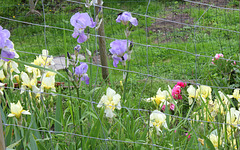 Iris en cage ( pallida et flavescens )