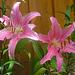 rose Lilienblüten