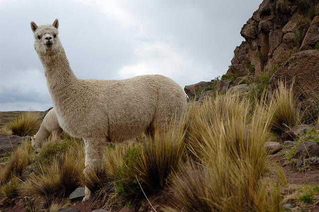 Alpaca Huacaya, Pérou
