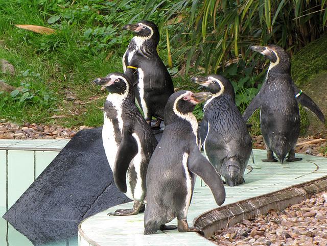 IMG 0117  Pinguine
