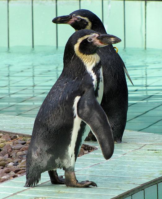 IMG 0118  Pinguine