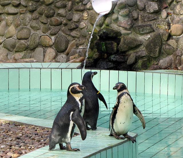 IMG 0119 Pinguine