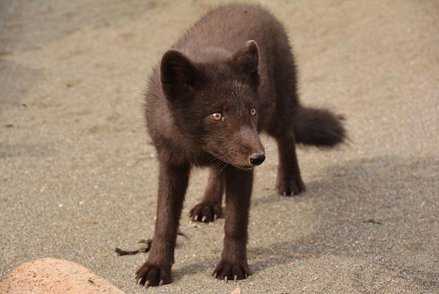 Juvenile Arctic fox....in the wild