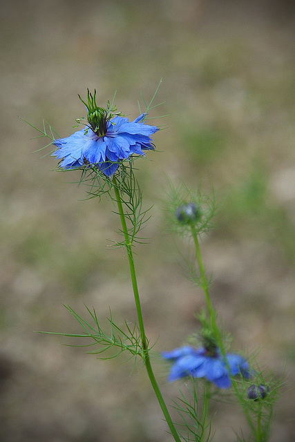 Blue flower - Love in a mist