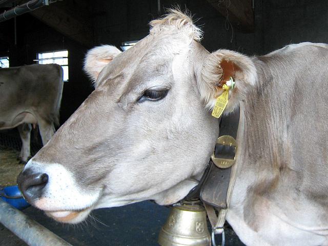 IMG 2801 Kuh in der Molseralp