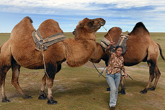 Camels used for draft animals