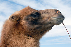 A camels side portrait