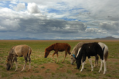 Mongolian horses rest at the veldt