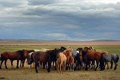 Nomads livestock breeding