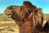 Pretty ginger longhaired camel portrait
