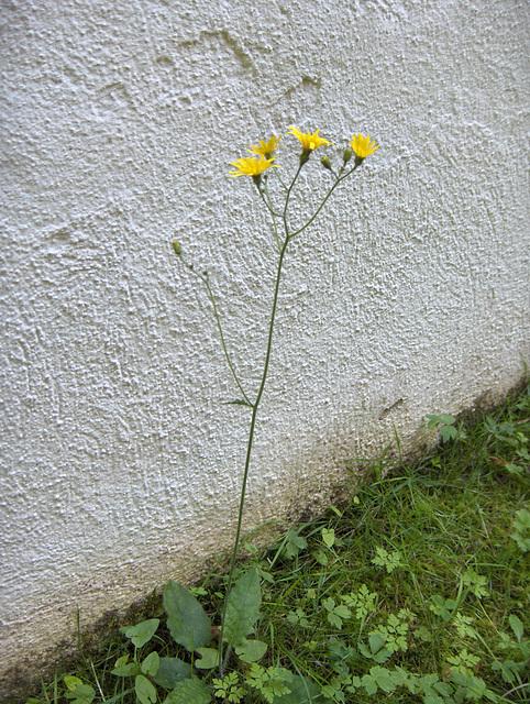 Floro ĉe la muro