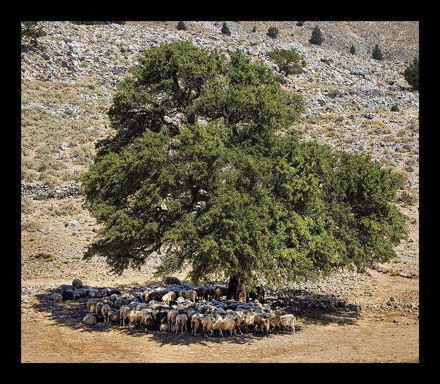 the sheep tree