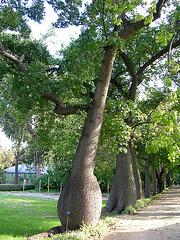 Un bel arbre : Ceiba Speciosa, Italie