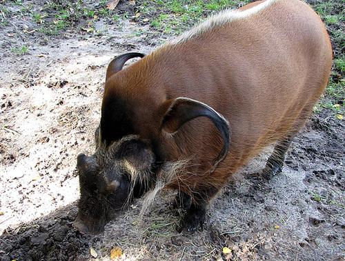 IMG 0198 Pinselohrschwein