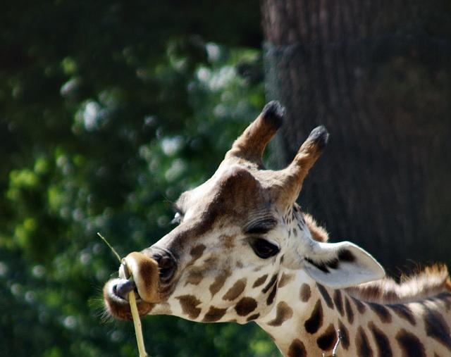 Zungenakrobatik / Contortions of the tongue