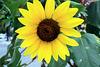 01.SunflowerGarden.16P.NW.WDC.22Sep2009