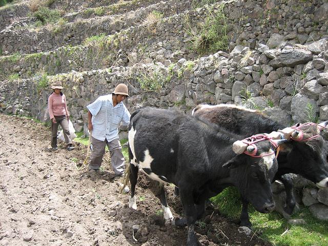 Cultures en terrasses au Pérou