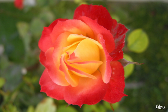 Gül... Rose...