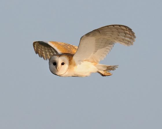 Barn Owl Hunting 3