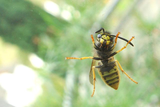 Window Wasp