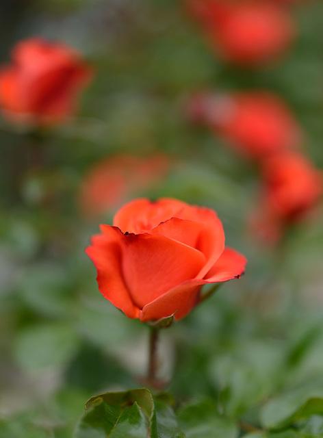 Une belle rose...