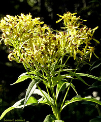 Flore du Vercors : séneçon de Fuchs